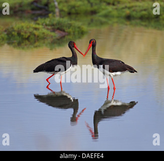 black stork (Ciconia nigra), two storks in shallow water standing adverse, Greece, Lesbos - Stock Photo