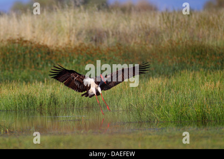 black stork (Ciconia nigra), landing in a fen, Greece, Lesbos - Stock Photo