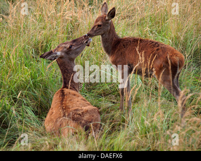 red deer (Cervus elaphus), female with calf, Germany - Stock Photo
