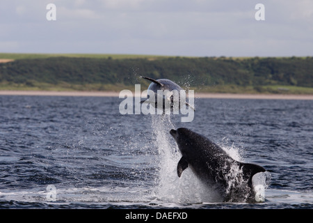 Bottlenose dolphins playing in the Moray Firth. Highland. Scotland. - Stock Photo