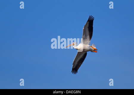 American white pelican (Pelecanus erythrorhynchos), flying , USA, Florida, Sanibel Island - Stock Photo