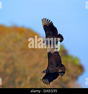 American black vulture (Coragyps atratus), two flying vultures, USA, Florida - Stock Photo