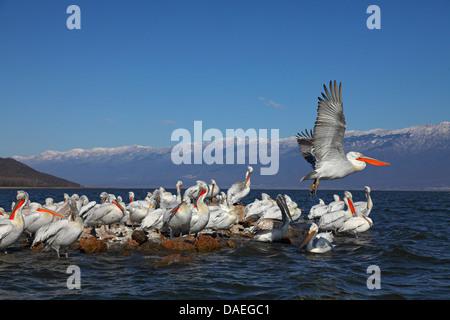 Dalmatian pelican (Pelecanus crispus), Dalmatian pelicans in breeding plumage standing on an island in lake Kerkini, - Stock Photo
