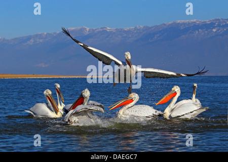 Dalmatian pelican (Pelecanus crispus), a Dalmatian pelican flying off from a group of swimming birds, Greece, Lake - Stock Photo