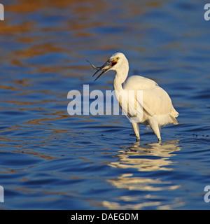 little egret (Egretta garzetta), standing in shallow water, feeding a fish, Spain, Andalusia, Coto Donana Nationalpark - Stock Photo