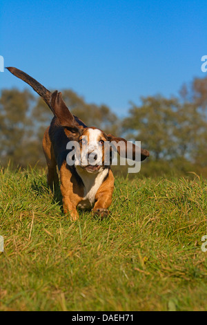 Basset Hound (Canis lupus f. familiaris), male dog running in a meadow, Germany - Stock Photo