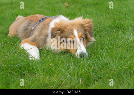 Shetland Sheepdog (Canis lupus f. familiaris), young Shetland Sheepdog lying bored on grass - Stock Photo