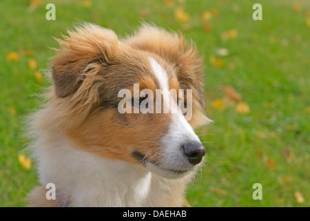 Shetland Sheepdog (Canis lupus f. familiaris), puppy in a meadow, portrait - Stock Photo