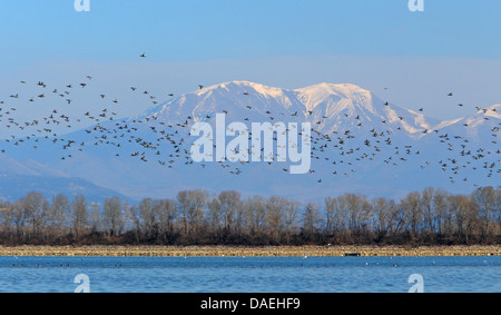 common pochard (Aythya ferina, Anas ferina), flock flying in front of the snow-covered Belasiza mountains, Greece, - Stock Photo