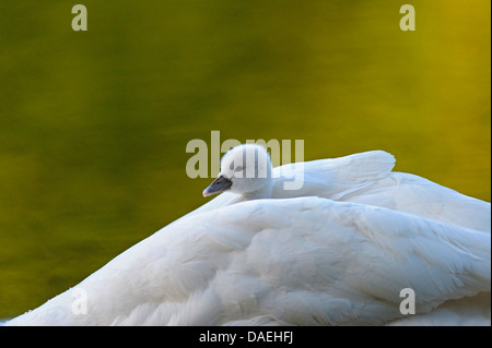 mute swan (Cygnus olor), fledgling warming up in the plumage of one of the parents, Germany, North Rhine-Westphalia - Stock Photo