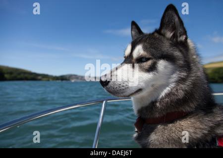 dog in life jacket on boat in Devon - Stock Photo