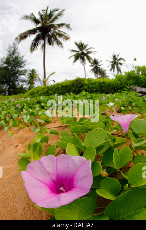 Beach Morning Glory, Goat's Foot (Ipomoea pes-caprae), blossom in front of palm trees, Thailand - Stock Photo