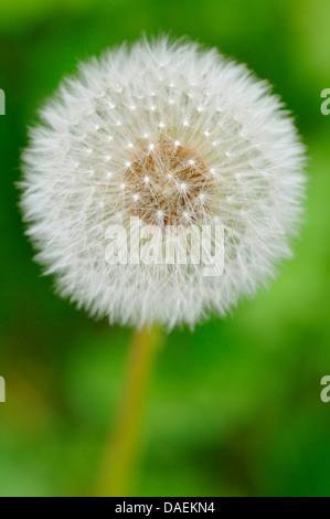 common dandelion (Taraxacum officinale), infructescence, Germany - Stock Photo