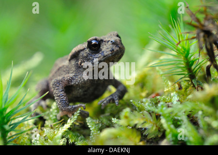 European common toad (Bufo bufo), juvenile sitting on moss, Germany - Stock Photo