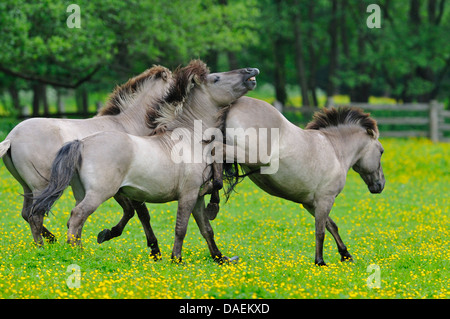 Tarpan (Equus ferus gmelini, Equus gmelini), back breeding attempt of the extinct wild horse subspecies by crossing - Stock Photo