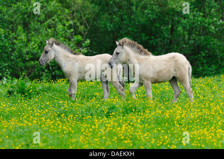 Tarpan (Equus ferus gmelini, Equus gmelini), breed back attempt of the extinct wild horse subspecies by crossing - Stock Photo