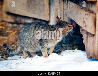 domestic cat, house cat (Felis silvestris f. catus), sniffing at a rotten door of a wooden shed, Germany - Stock Photo