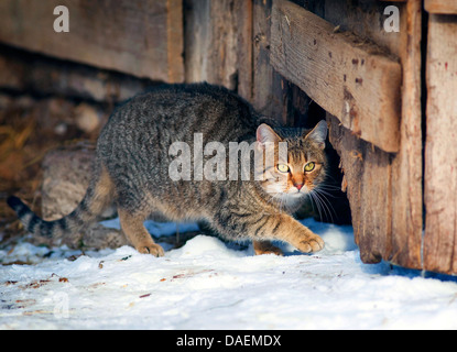 domestic cat, house cat (Felis silvestris f. catus), walking through a hole at a rotten door in a wooden shed, Germany - Stock Photo