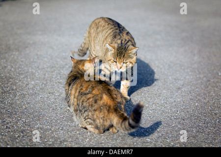domestic cat, house cat (Felis silvestris f. catus), two cats meeting on the street, Germany - Stock Photo