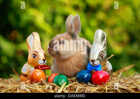 dwarf rabbit (Oryctolagus cuniculus f. domestica), sitting on straw with chocolate Easter bunnies and colourfully - Stock Photo