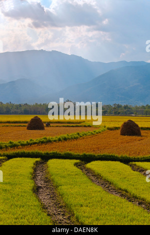 domestic cattle (Bos primigenius f. taurus), The fertile valley surrounding KENGTUNG or KYAINGTONG is used to grow - Stock Photo