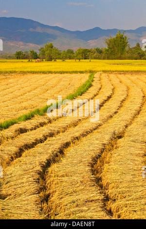 The fertile valley surrounding KENGTUNG or KYAINGTONG is used to grow RICE, Burma, Kengtung, Kyaingtong - Stock Photo