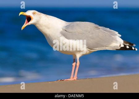 herring gull (Larus argentatus), sitting on the beach calling, Germany