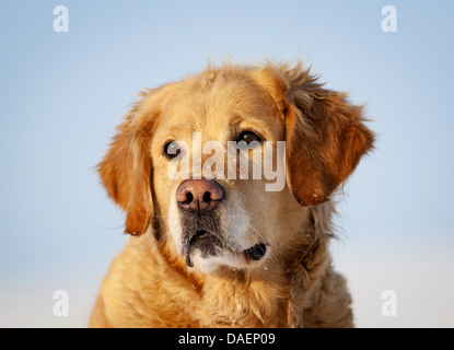 Golden Retriever (Canis lupus f. familiaris), portrait in the snow, Germany - Stock Photo