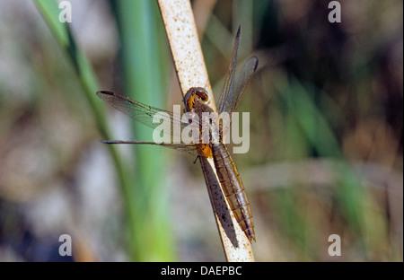 Broad Scarlet, Common Scarlet-darter, Scarlet Darter, Scarlet Dragonfly (Crocothemis erythraea, Croccothemis erythraea), - Stock Photo