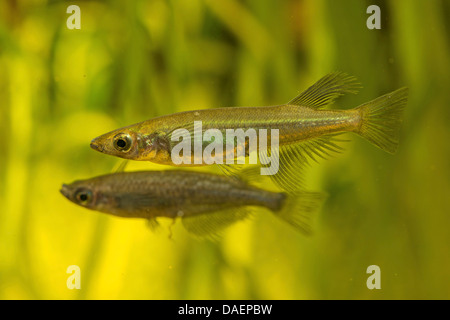 Sarasins Minnow (Oryzias sarasinorum), male with another male of Oryzias nigrimas in the background - Stock Photo