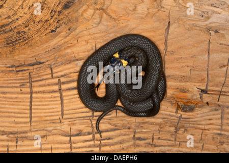 grass snake (Natrix natrix), lying on a tree stumpf coiled up, Germany - Stock Photo