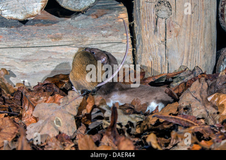 least weasel (Mustela nivalis), with caught mouse, Germany, Bavaria - Stock Photo