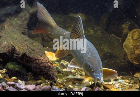 barbel (Barbus barbus), swimming, Germany - Stock Photo