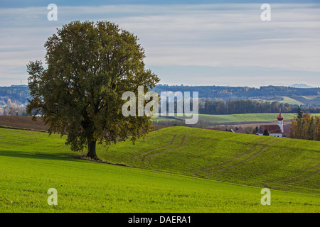oak (Quercus spec.), on hill in the  foothills of the Alps, Germany, Bavaria, Isental - Stock Photo