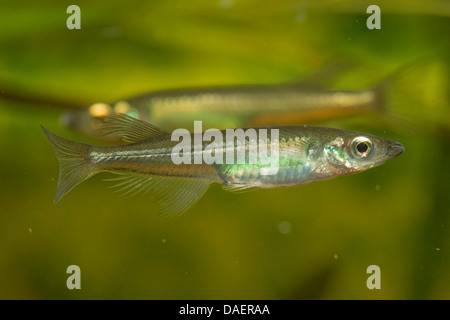 Sarasins Minnow (Oryzias sarasinorum), male - Stock Photo