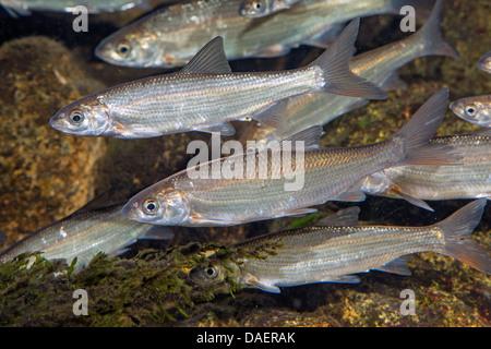 nase (Chondrostoma nasus), shoal of fish, Germany - Stock Photo