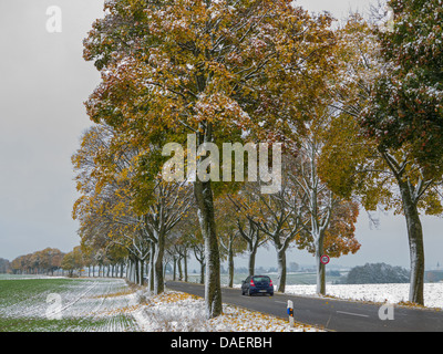 Norway maple (Acer platanoides), snow covered maple alley in autumn, Germany, Bavaria - Stock Photo