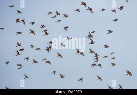 linnet (Carduelis cannabina, Acanthis cannabina), flying flock, Germany, Bavaria - Stock Photo