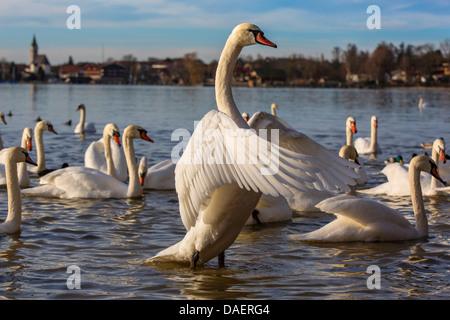 mute swan (Cygnus olor), flapping wings, Germany, Bavaria, Lake Chiemsee, Seebruck - Stock Photo