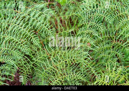 Miami Florida City Everglades Florida National Park Main Park Road Pteridium aquilinum caudatum lacy bracken fern - Stock Photo