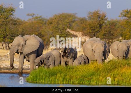 African elephant (Loxodonta africana), herd at a waterhole, Namibia, Etosha National Park, Oshikoto, Riedfontein - Stock Photo