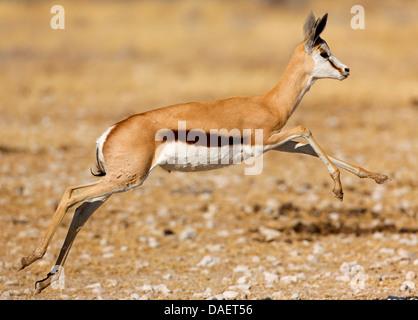 springbuck, springbok (Antidorcas marsupialis), jumping young individual, Namibia, Etosha National Park, Oshikoto - Stock Photo