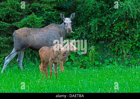 elk, European moose (Alces alces alces), cow elk standing with her two calf elks in front of a bush and feeding, - Stock Photo