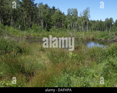 highmoor, hill moor, continental raised bog / Arracher Hochmoor / Bavarian Forest, Bavaria, Germany - Stock Photo