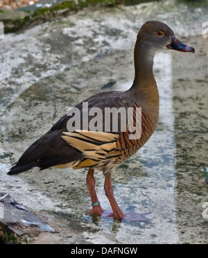 Eyton's Whistling Duck / Plumed Whistling Duck (dendrocygna eytoni) - Stock Photo