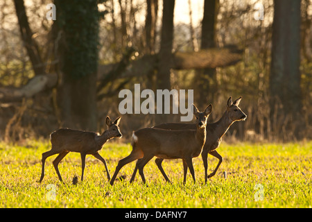 roe deer (Capreolus capreolus), group of does in a sunny meadow at a forest edge in early spring, Germany, North - Stock Photo