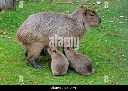 capybara, carpincho (Hydrochaeris hydrochaeris, Hydrochoeris hydrochaeris), mother standing in a meadow suckling - Stock Photo