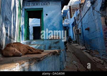 Dogs sleeping at a blue house doorway. Jodhpur, Rajasthan, India - Stock Photo