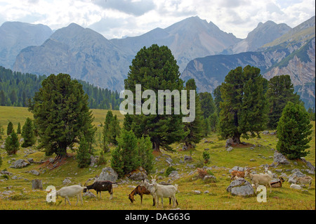 domestic goat (Capra hircus, Capra aegagrus f. hircus), free range goats in mountain landscape, Italy, South Tyrol, - Stock Photo