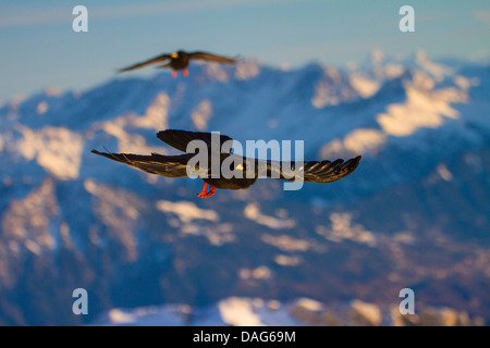 alpine chough (Pyrrhocorax graculus), two adults in flight in the Alps, Switzerland, Alpstein, Saentis - Stock Photo